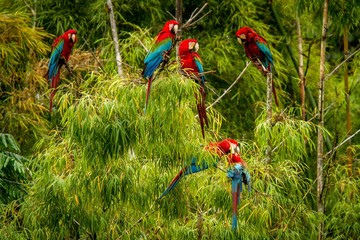 Flock of red parrots sitting on branches. Macaw flying, green vegetation in background. Red and green Macaw in tropical forest, Brazil, Wildlife scene from tropical nature. Birds in the forest.