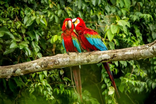 Red parrots grooming each other on branch, green vegetation in background. Red and green Macaw in tropical forest, Brazil, Wildlife scene from tropical nature. Beautiful bird in the jungle.