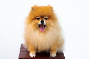 Portrait of puppy pomeranian with tongue out and isolated background