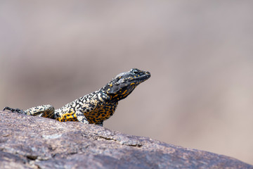 Rock Agama Lizard