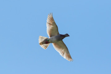 flying speed racing pigeon flying against clear blue sky
