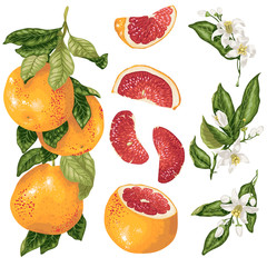 Cirtus set in vector with grapefruit plant