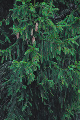green spruce with cones. spruce background