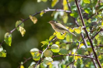 Phylloscopus collybita bird on tree in the park