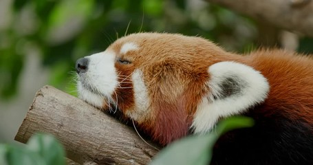 Wall Mural - Red panda sleeping