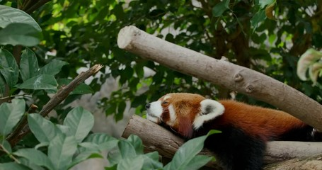Wall Mural - Red panda sleeping on tree
