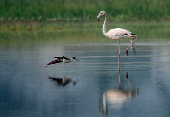 Greater Flamingo , a large white water bird