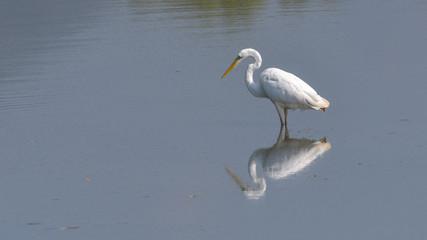 Airone bianco maggiore fermo sull'acqua, che osserva la sua immagine riflessa nel lago