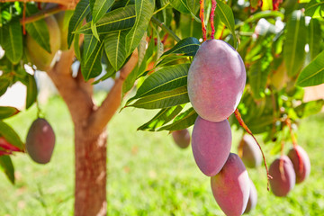 Mango tree with hanging mango fruits