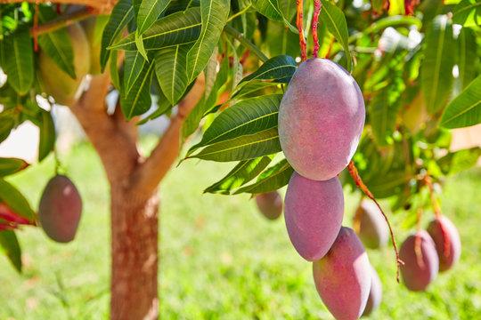 Mango tree with hanging mango fruits