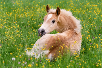 Haflinger horse foal resting amidst buttercup flowers