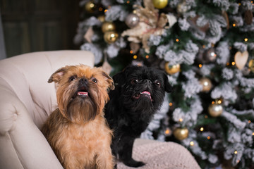Brussels Belgian Griffon Happy New Year Merry Christmas
