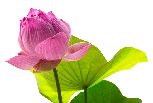 The Sacred Lotus: The sacred lotus is an important water plant. It is considered to be the queen of water with beauty and many benefits.