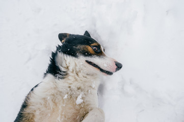 Funny dog rolling in snow. Happy comic puppy lying on back in winter. Lovely pet outdoor lifestyle wide angle portrait. Domestic animal playing with snow. Smiling and laughing emotional canine muzzle