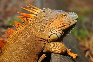 Iguana in the wild in Costa Rica