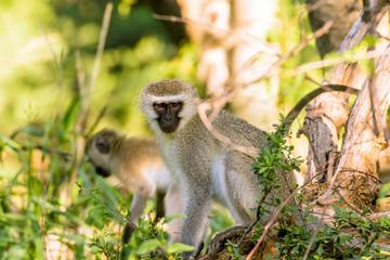 Poster Monkey Vervet apen (Chlorocebus pygerythrus) in Hammanskraal, Gauteng, Zuid-Afrika.