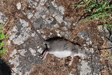 A dead rat at Lakka on the Greek island of Paxos.