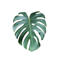 Realistic Green Tropical Monstera Leave From Top