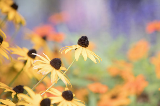 Photograph of Black Eyed Susan flowers growing in a garden