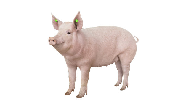 big pig vaccination isolated
