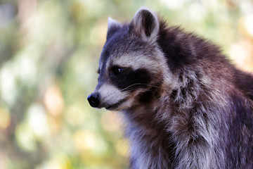 Portrait of sitting adult male common raccoon