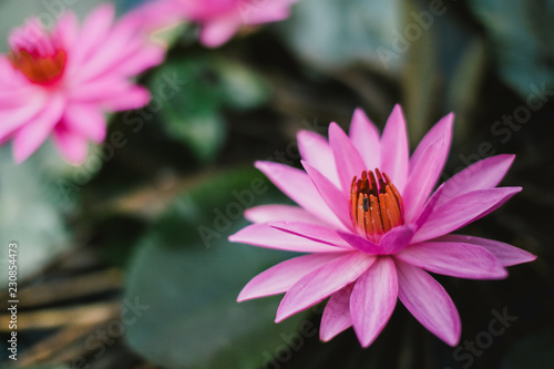 Very Beautiful Pink Lotus Flower Thailand Stock Photo And Royalty