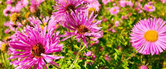 autumn blooming purple chrysanthemum flowers