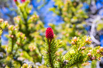 Young fir cones and fir tree branches