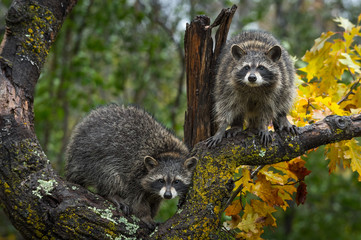 Fotomurales - Raccoons (Procyon lotor) Look Out From Autumn Tree