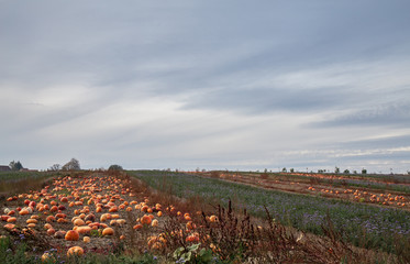 Pumpkins. Field. Sky. Evening. Nature