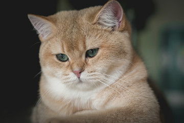 The face of British shorthair cat