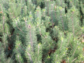 green spruce close up