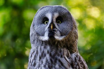 Portrait of adult male great grey owl (Strix nebulosa)