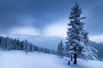 Landscape in winter mountains. View of snow-covered tall firs and impassable snowdrifts. Snow thick layers lie on the branches of trees. Nature on winter.