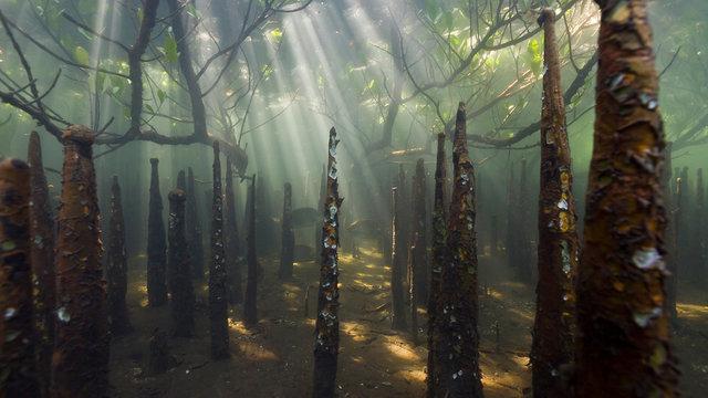 Underwater view of Mangroves