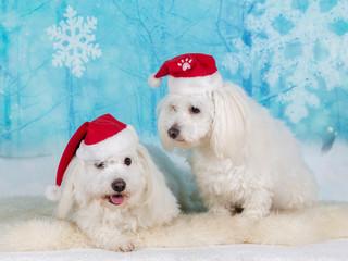 Christmas dogs. Two Coton de Tulear dogs in xmas environment