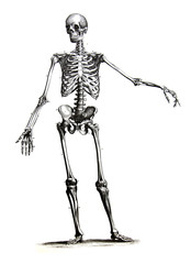 An engraved illustration of skeleton from a vintage book Encyclopaedia Britannica by A. and C. Black, vol. 2, of 1875, Edinburgh