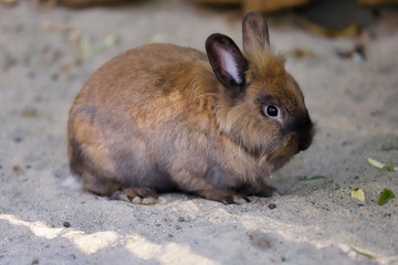 Full body of grey-brown domestic pygmy rabbit