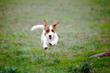 Джек рассел терьер в прыжке на траве