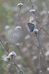 Çokgözlü Amanda / Polyommatus amandus / Amanda blue