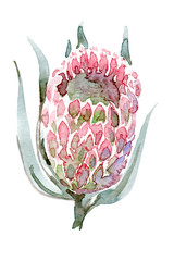 Watercolor hand-paint. Bud protea pink. Illustration isolated on white.