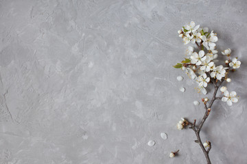 Blossom cherry plum on a gray background gypsum plaster