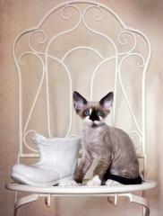 Cute Devon Rex kitten and a shoe vase shape on a white vintage chair. Close-up, background, still life