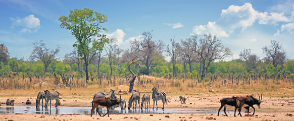 Landscape of a busy vibrant waterhole with Zebra and Sable Antelope against a satureal bush background and blue wispy sky.  Hwange National Park, Zimbabwe