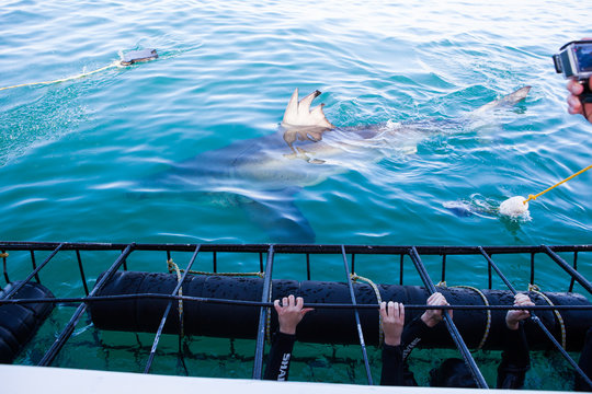 A huge great white shark is being teased with dead tuna's head to come closer to shark cage diving boat. Great tourists adventure in Gaansbaai, South Africa