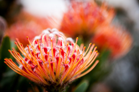 Protea flowers in Capetown. Protea is a national flower of South Africa. Selective focus