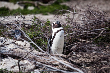 Cute little African penguin (Spheniscus demersus) walking towards the sea on a tiny path . Betty's bay, South Africa