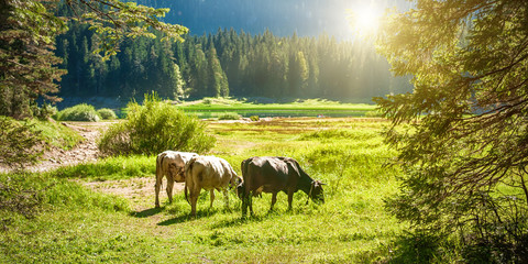 Grazing cows on a pasture near a mountain lake