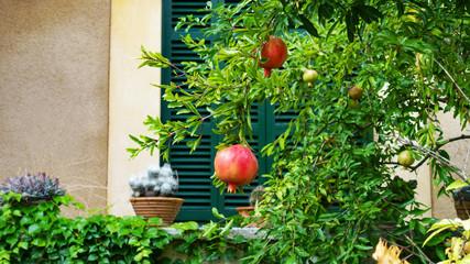 Pomegranate on tree in garden on Mallorca, Spain