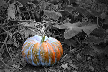 Pumpkins in the garden stock images. Beautiful autumn decoration with pumpkins. Halloween pumpkin decoration in the garden. Orange gourd on a black and white background